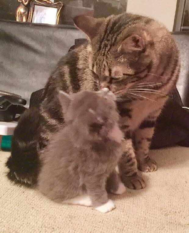 Домашний кот поддерживает котёнка-сироту и приучает его обниматься все дни напролёт!