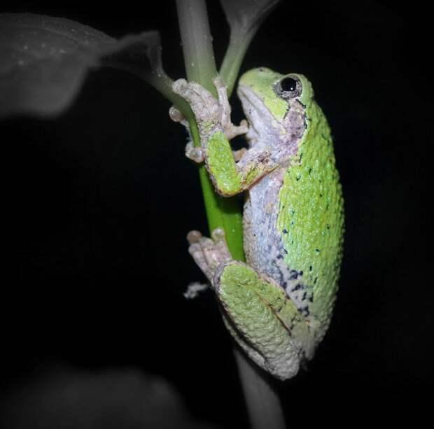 Gray_tree_frog_Coggeshall