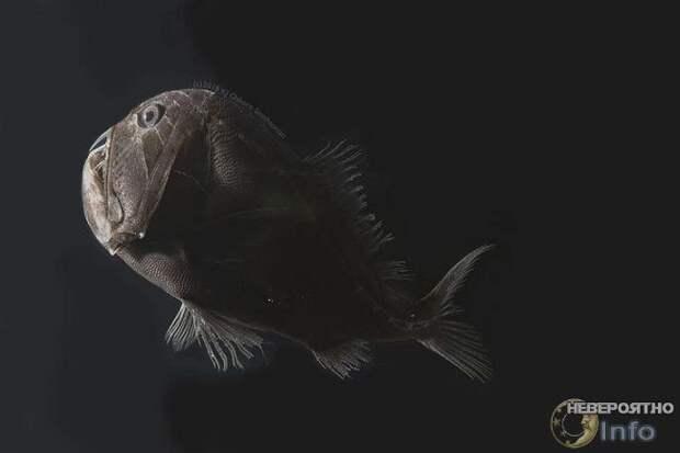 """Ультрачёрные """"невидимые"""" рыбы найдены на больших глубинах"""