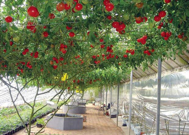 В Израиле вырастили помидорное дерево невероятных размеров — это стоит увидеть.