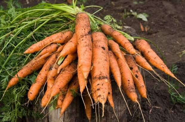 Как спасти морковь