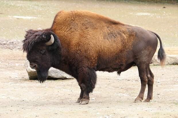 Сейчас бизон готов вернуться в прерии – но белые американцы по-прежнему к этому не готовы / ©Wikimedia Commons