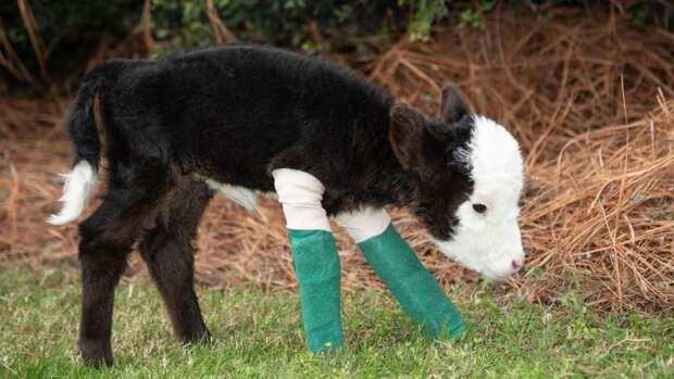 В США появился самый маленький теленок
