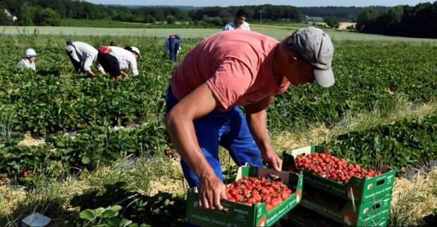 В Польше могут начаться бунты: без украинских заробитчан урожай польских фермеров пропадет