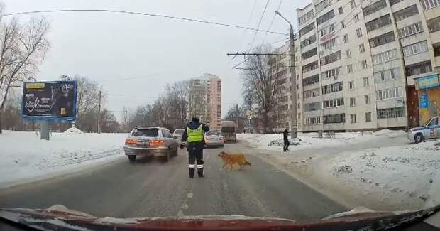 Минута доброты: в Челябинске инспектор ГИБДД перевел хромую собачку через дорогу авто, видео, гибдд, добро, пешеход, полицейский, собака, челябинск