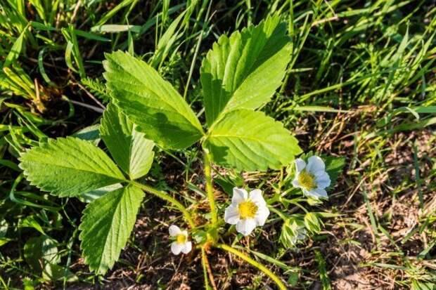Подкормка цветущей клубники увеличит количество соцветий, а значит, и плодов