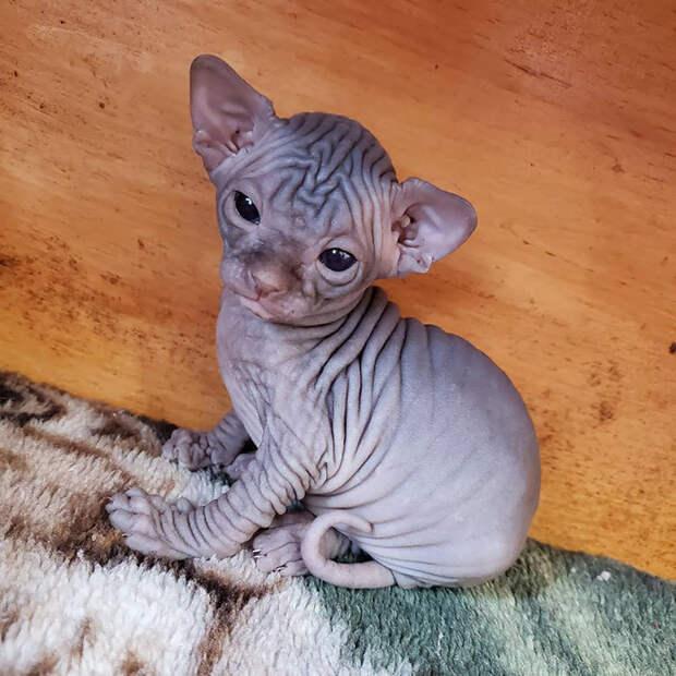 20 очаровательных фото котят сфинкса, самой оригинальной породы домашних кошек