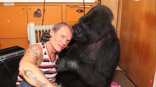 Видео: Басист Red Hot Chili Peppers играет для сверхумной гориллы Коко