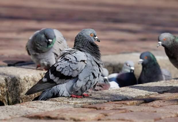 Жители Строгина спасли породистых голубей