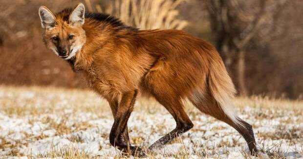 Гривистый волк: странное животное с головой лисицы и очень длинными ногами