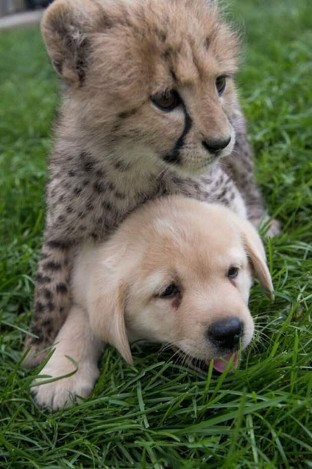 Гепарды настолько робкие существа, что в зоопарках им в компаньоны дают собак