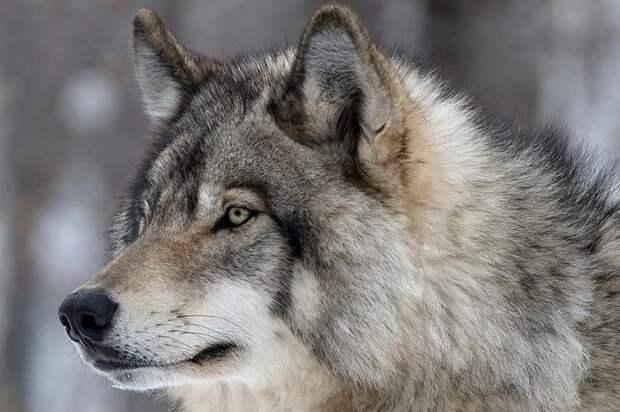 К чему приводит дружба с волком
