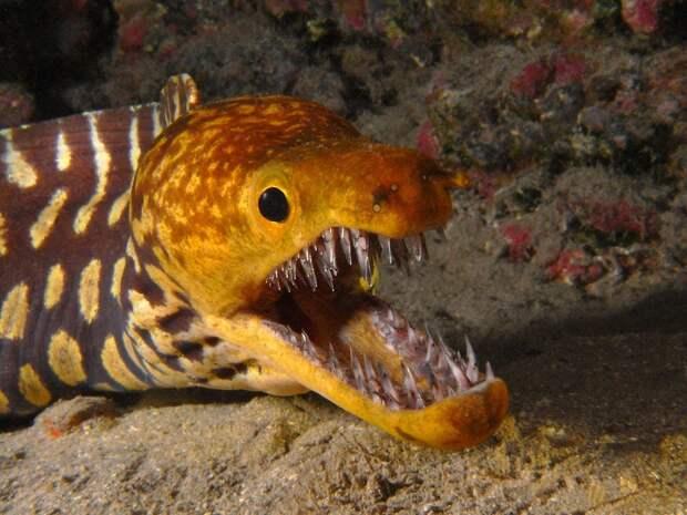 Мурена и ее зубы море, открытки, рыбы, фото