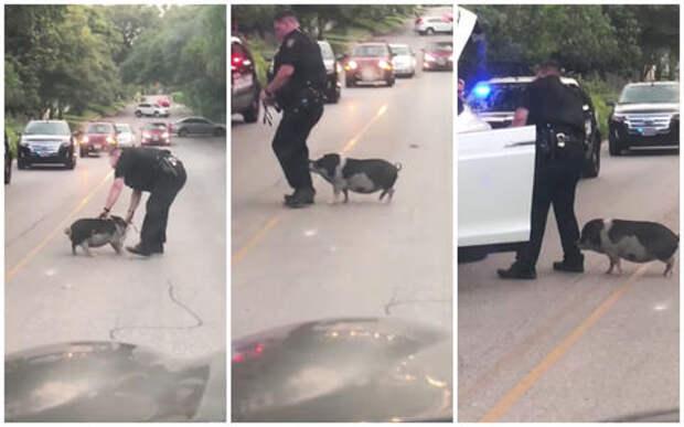 Упрямая свинка создала пробку в Техасе