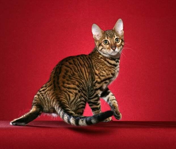 Тойгер, крупная порода кошек. фото
