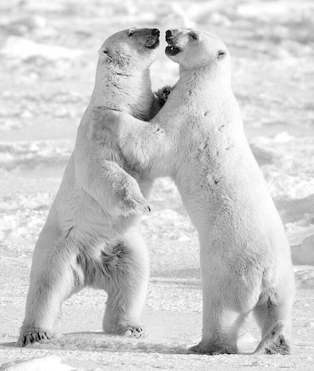 Борьба белых медведей