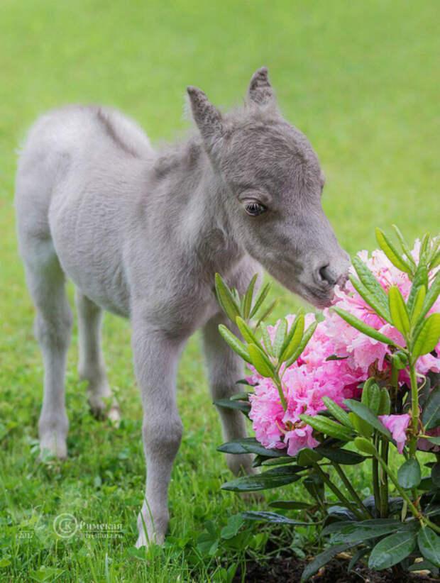 В Ленинградской области родился самый маленький конь в мире