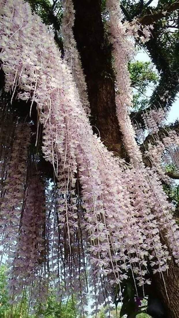 Немного орхидей. Дендробиум безлистный — вид многолетних трявянистых растений семейства Орхидные, или Ятрышниковые. гирлянды, интересное, красота, природа, фотомир, цветы