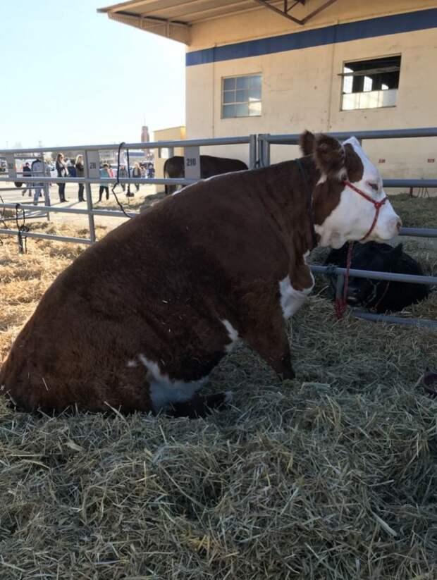 Вы знали, что коровы умеют сидеть? Прямо как собачки