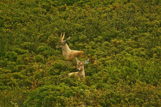 Почему ученые считают благородного оленя опасным видом фауны