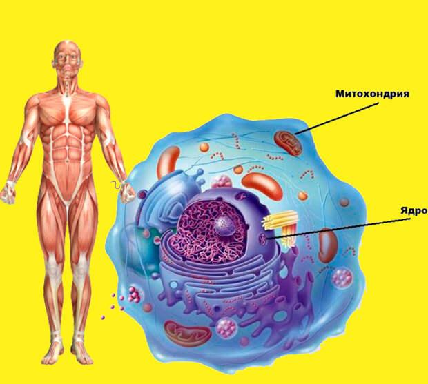 Янтарная кислота: недорогое натуральное средство, которое исцеляет и омолаживает весь организм