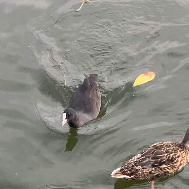 Жительница обнаружила краснокнижную птицу в Лианозовском пруду