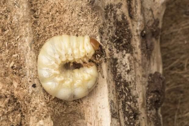 Личинка майского жука (хрущ)