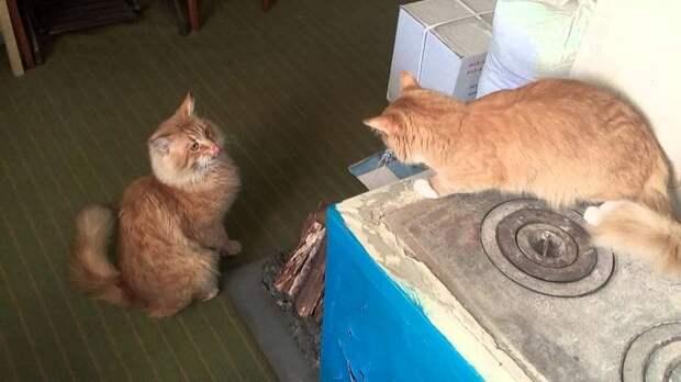 Рыжий кот каждый день выпрашивал в магазине мясо и куда-то относил
