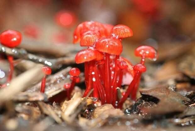 5. Mycena Viscidocruenta грибы, факты, это интересно