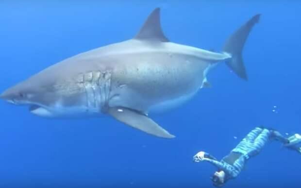 Deep Blue считается самой большой большой белой акулой, ее длина составляет около 20 футов. Изображение через YouTube .