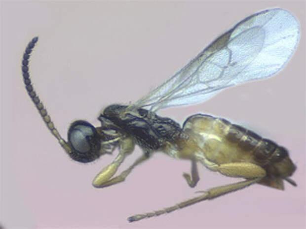 Наездник Cotesia flavipes — один из многих тысяч видов паразитических наездников, которые выводят из строя защитные системы своих жертв при помощи «ручных» вирусов. Фото с сайта www.uky.edu