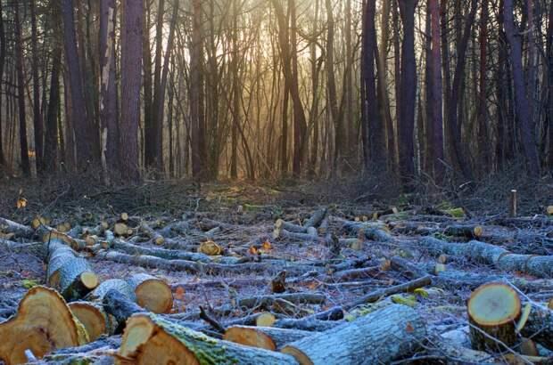 Реликтовые дрова вывозят из Форосского парка