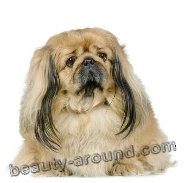 Пекинес  самая красивая комнатная собака, породы собак с фотографиями