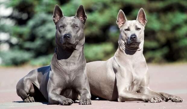 Тайский риджбек - полный обзор всех особенностей породы собак