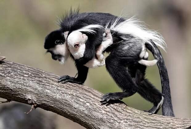 Трогательная фотография самки обезьяны с малышом вида колобус гвереца из зоопарка Праги.