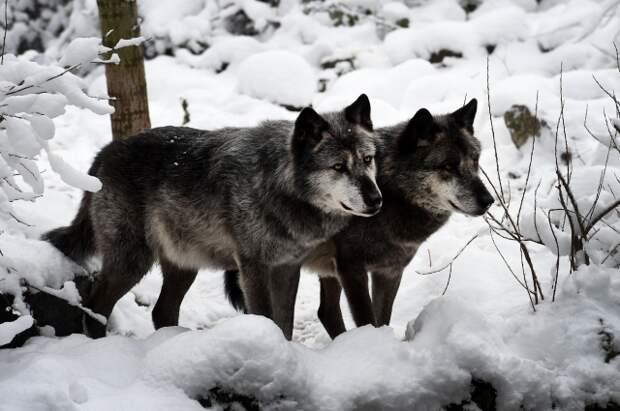 Зачастую потерявшие подругу волки больше не создают пар.