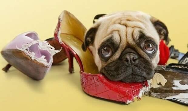 Инспектируют вашу обувь домашний питомец, животные, подборка, прикол, собака, юмор