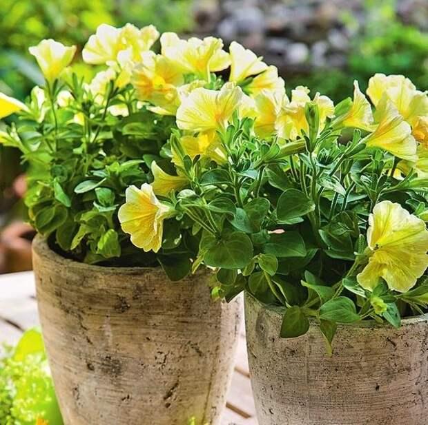 Цветки петунии, сменяя друг друга, красуются в саду лето напролет.
