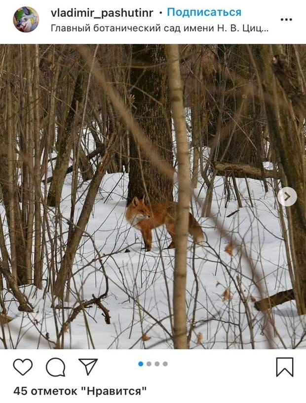 Фото дня: в Ботаническом саду прогуливалась лиса