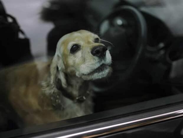 Золотистый спаниель находился запертый в машине несколько часов, и тогда прохожий мужчина, решил помочь собаке
