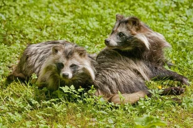 Самец енотовидной собаки заботится о самке.