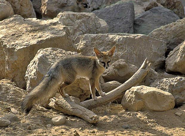 Афганская лисица (Vulpes cana)