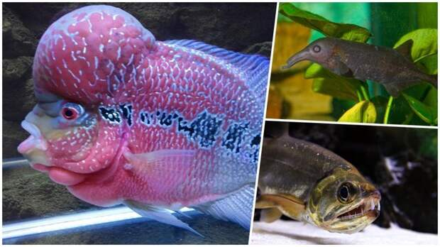 Самые странные и необычные аквариумные рыбы аквариумные рыбки, животные, необычные рыбы, рыбы