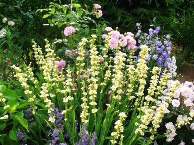 Сисиринхий полосатый с розами и колокольчиками, фото сайта lejardindecheneland.blogspot.com