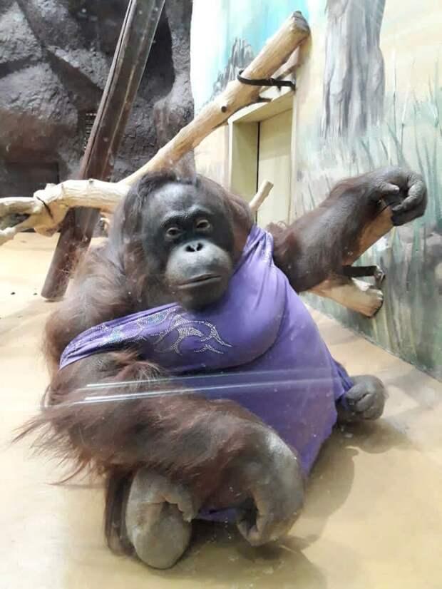 Орангутангу Лоле в зоопарке Ижевска кавалер подарил на 8 марта букет цветов