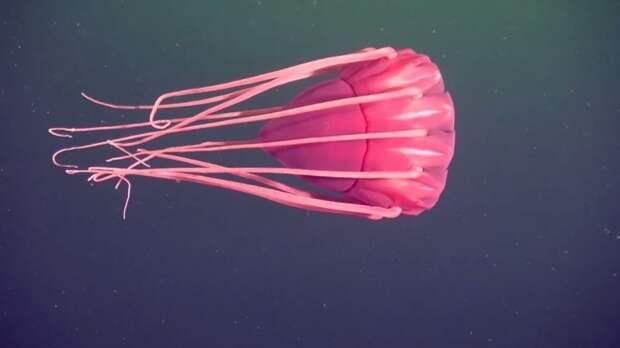 9. Periphylla periphylla животные, обитатель, океан