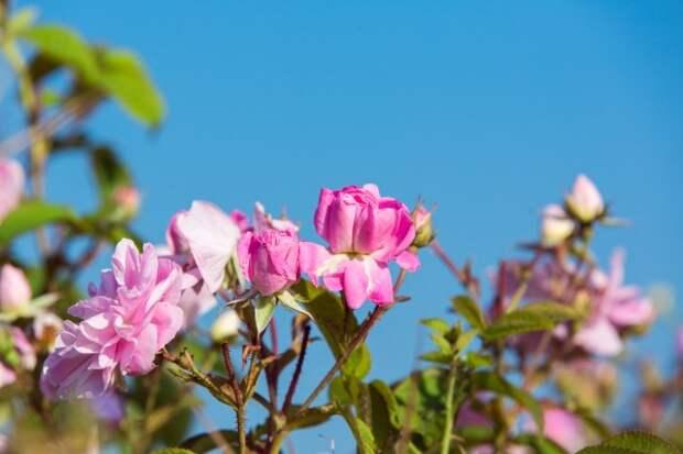 В Крыму собрали тонны лепестков роз (ФОТО)