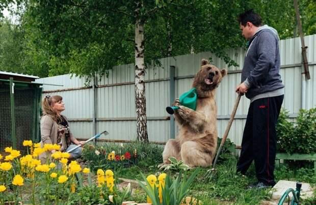 Огромный 135-килограммовый медведь живёт в русской семье в качестве домашнего животного