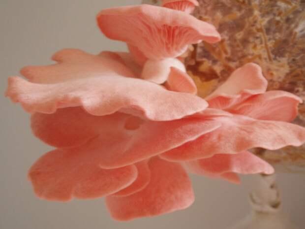 Розовая вешенка: красота во имя здоровья
