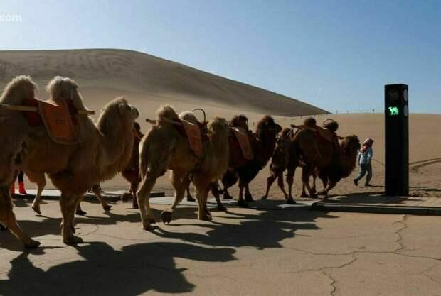 Зачем в Китае установили светофор для верблюдов